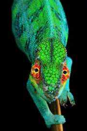 3. Preis Fotoserien, Natur - Christian Ziegler, Deutschland, fu?r National Geographic -  Bedrohtes Cham�leon, Nationalpark Montagne d�Ambre, Madagaskar, 28. November 2015