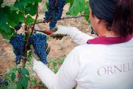 Eine Mitarbeiterin von Ornellaia liest rote Trauben