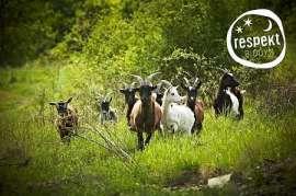 respekt-Imagebild Ziegen im Grünen