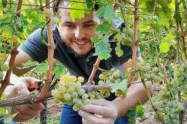Winzer Marius Meyer liest hochreife Trauben der Sorte Sauvignon Blanc