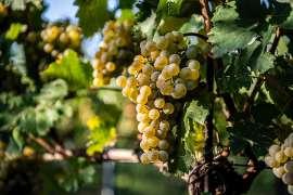 Reife Weissweintrauben auf dem Weinstock