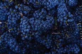 Reife, leuchtend dunkelblaue Rotweintrauben auf Ornellaia