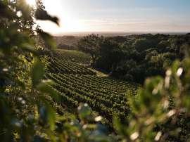 Weingärten des Weinguts Ornellaia in Bolgheri