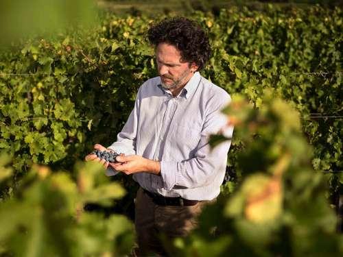 Weingutsleiter und Önologe im Weingarten zur Lesezeit, er kontrolliert Trauben am Stock
