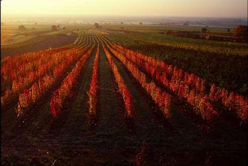Burgenland, Weingarten im Herbst in leuchtenden Farben