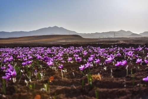 Ein Feld mit Safran Krokusen