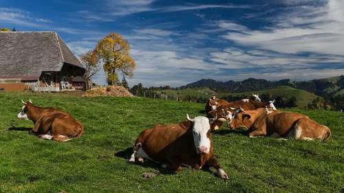 Kühe auf einer Wiese im Triestingtal