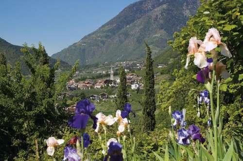 Blick von Blumenwiese mit Iris auf Dorf Algund