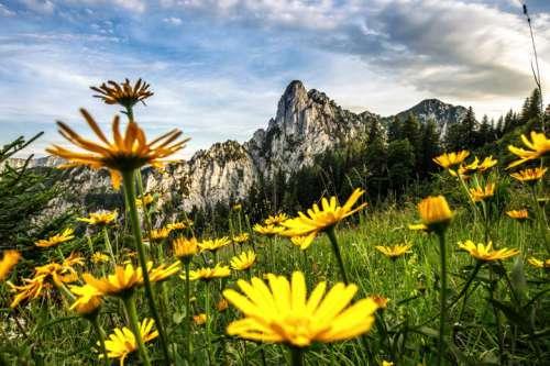 Hörndlwand im Frühling mit gelber Blumenwiese