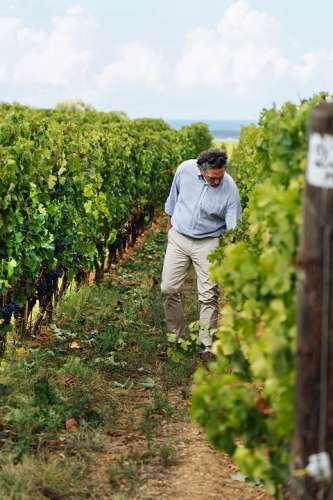 Gutsdirektor Axel Heinz durchstreift den Weingarten und betrachtet die reifen dunklen Trauben