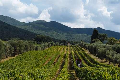 Lese auf Ornellaia - in einer Reihe werden von Hand rote Trauben gelesen, im Hintergrund Hügel